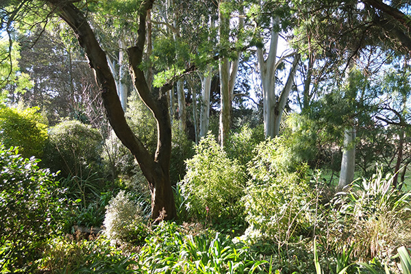One of the remaining Wattle trees.