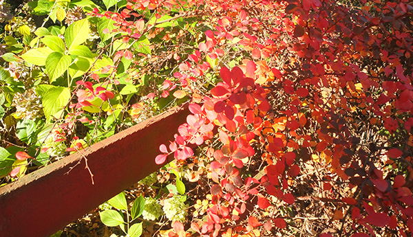 The Berberis turned red in autumn.