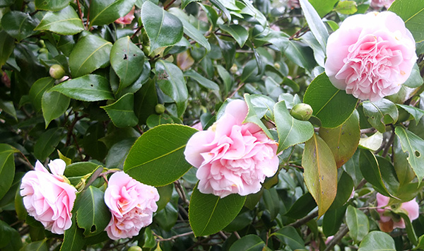 The shrub by the side of the house always flowers early.