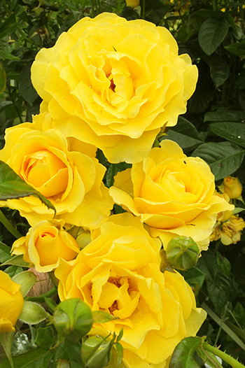 A well-behaved yellow rose!