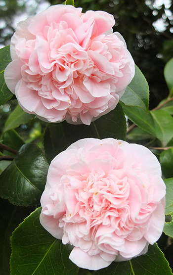One of the early Camellias to flower.