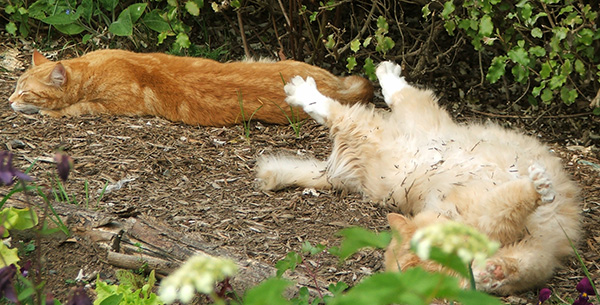 Percy and Fluff-Fluff - the very best gardening cats ever!