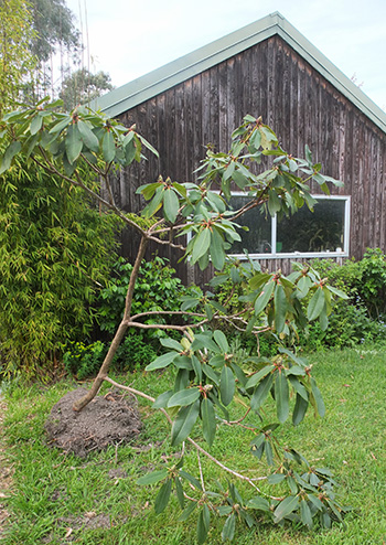 The recycled rhododendron.