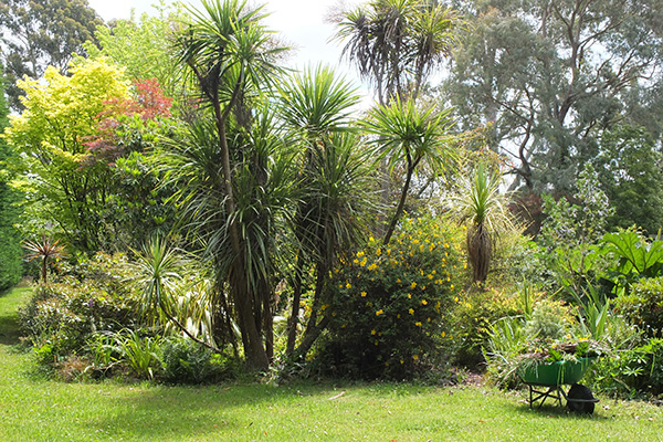 Cabbage trees and yellow Hypericum in Middle Border.
