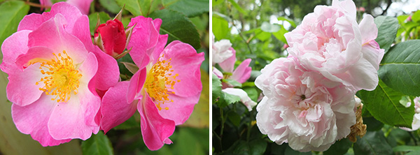 Both shrubs fit the descriptions of these roses.