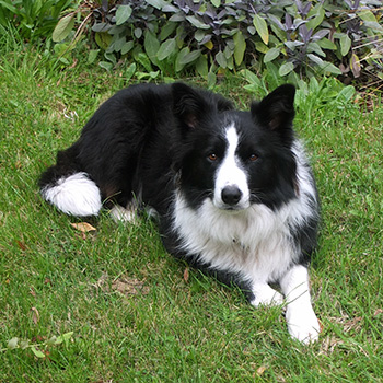 My young black and white Border Collie.