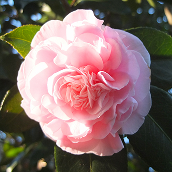 The Camellias are a bit confused...