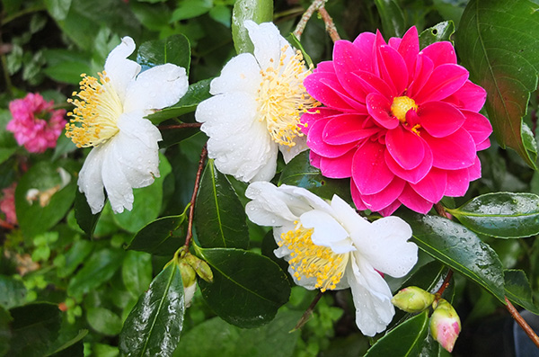 Late dahlia, early Camellia!