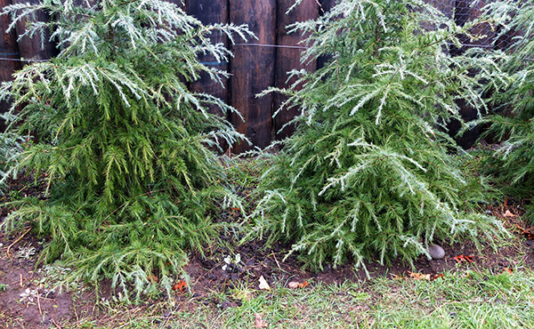 A slow growing conifer for hedging.