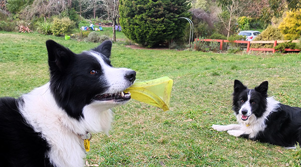 WInnie with the frisbee and Pebbles.