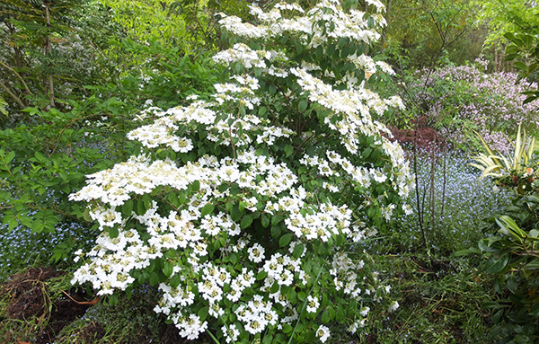 A beautiful Viburnum plicata.