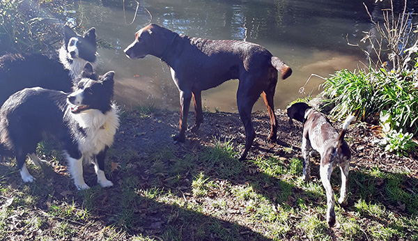 The Collies and the GSPs...