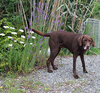 My big brown dog visitor.