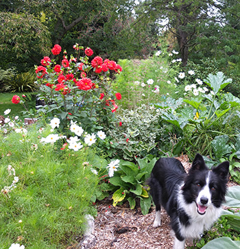 My young Border Collie.