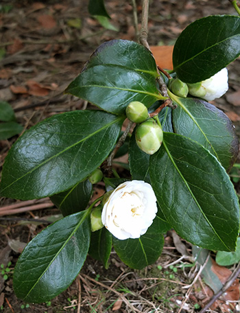 The breeder was annoyed by her recent divorce, so deliberately named this Camellia...