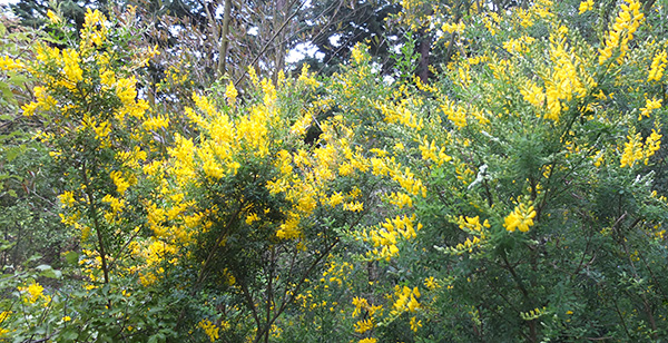 I know - it looks really, really weedy. Pretty yellow...