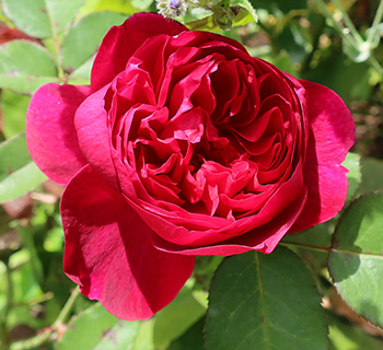 An easy David Austin rose to grow, and not floppy like some others!
