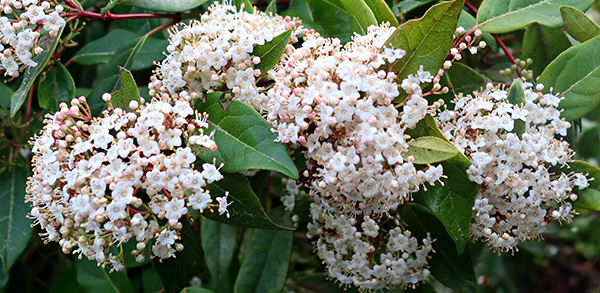 Very susceptible to a silver-leaf condition. But flowers in winter, great for the early bees...