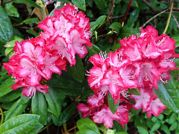 A beautiful rhododendron by the Driveway Lawn.