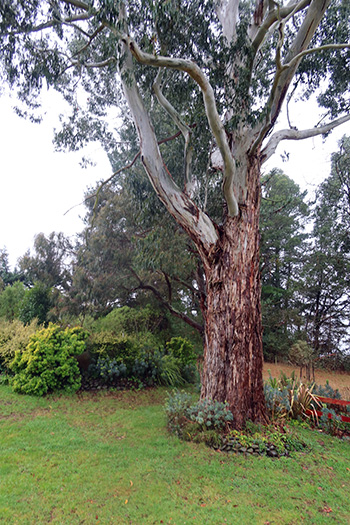 Lovely tree, a huge Eucalyptus.