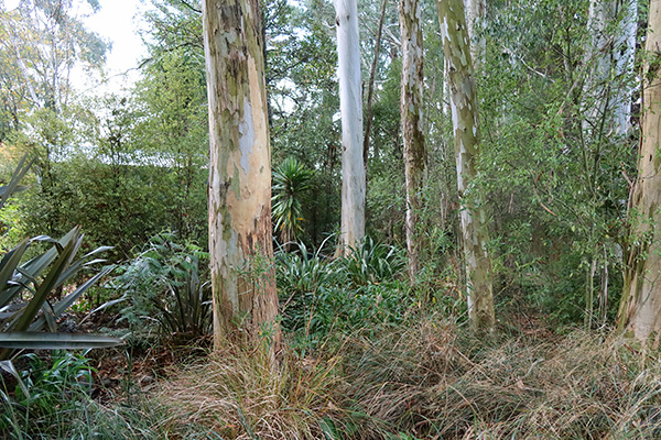 The Eucalyptus trees drop bark and leaves over everything below,