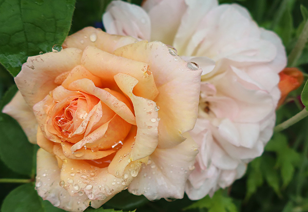 I bought this rose new as a present for the Hump Garden.
