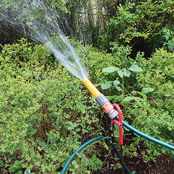 Watering the rugosa hedge in the Allotment Garden.