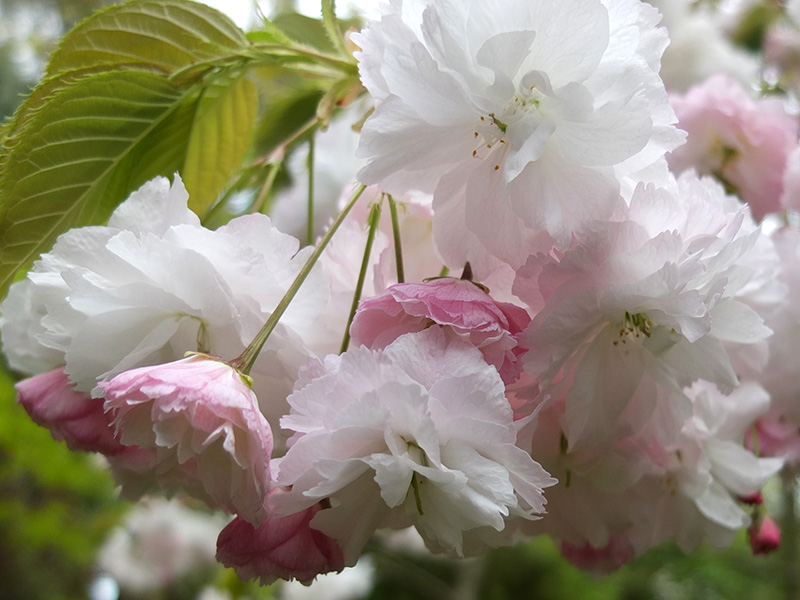 Awesome white flowering cherry tree varieties pictures inspiration awesome white flowering cherry tree varieties gallery images for mightylinksfo Images