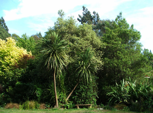 Cordylines, or Cabbage trees, drop lots of leaves in the summer winds..