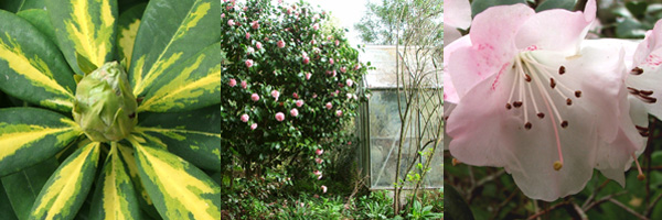 Rhododendron leaf, big pink Camellia, Graham Rhododendron.
