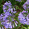 Admirable Agapanthus