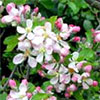 Spring Apple-Blossom