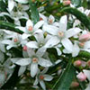 Favourite Australian Shrubs