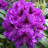 Purple Rhododendron - Bumble Bee?