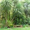 Green Cordylines