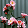 Most Beautiful Camellia in the World