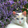 White Cat  in the Catmint