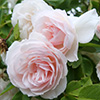 Coconut Ice Climbing Rose