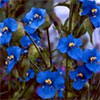 Commelina