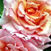 Compassion Apricot Rose