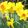 Spring Mixed Daffodils