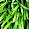 Dwarf Agapanthus Leaves