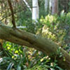 Wattle Tree Damage