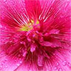 Bright Pink Hollyhock