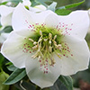 The Humble Hellebore