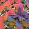 Autumn Cotinus Shrub