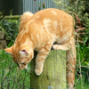 Ginger Cat Percy