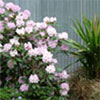 Lilac Rhododendron