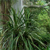 Cabbage Trees (Cordylines)