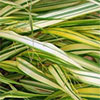 Hakonechloa - The Perfect Grass